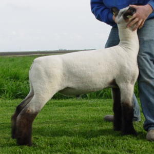 Morrical Show Lambs: Sires